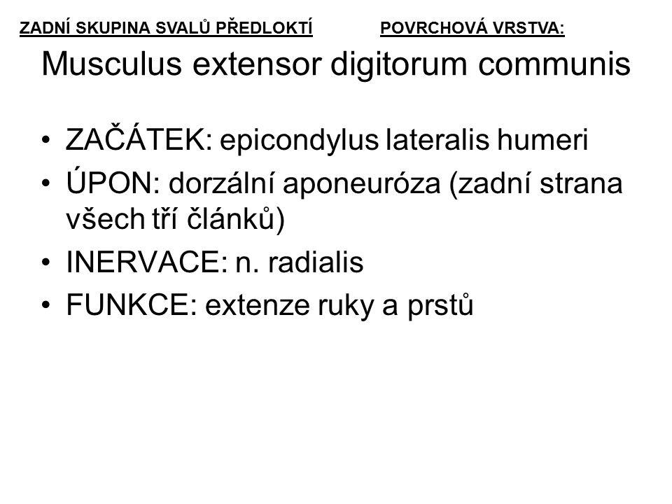 Musculus extensor digitorum communis