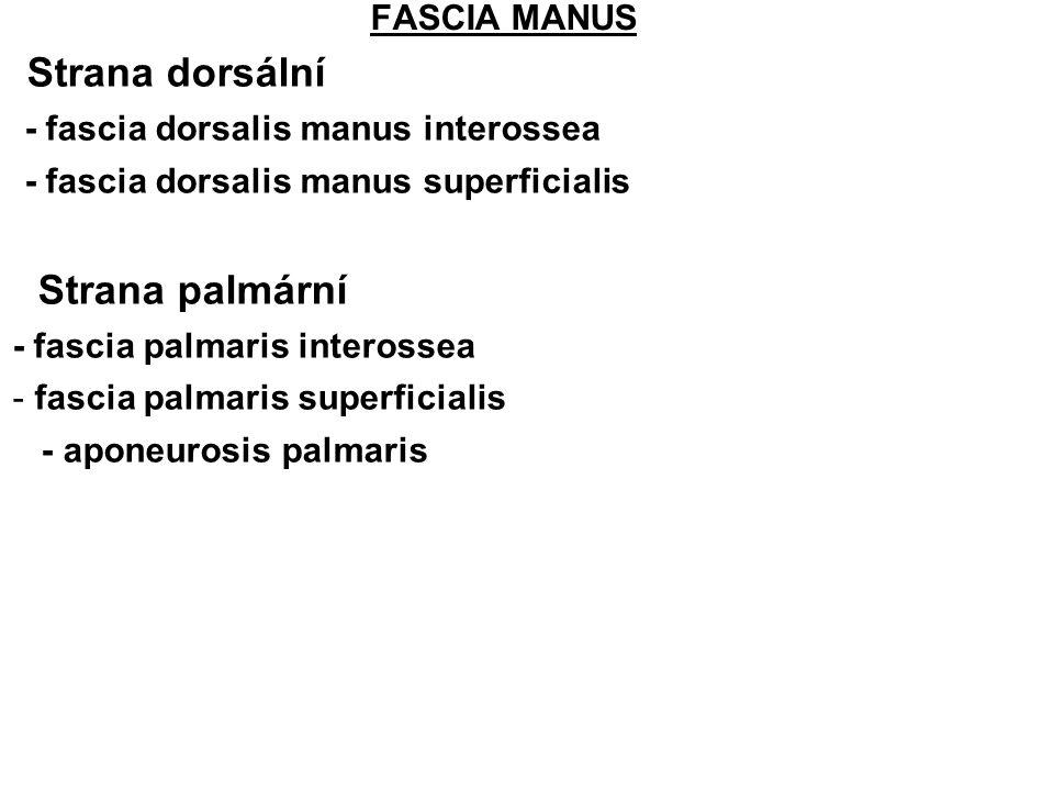 Strana dorsální Strana palmární FASCIA MANUS