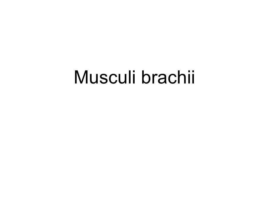 Musculi brachii
