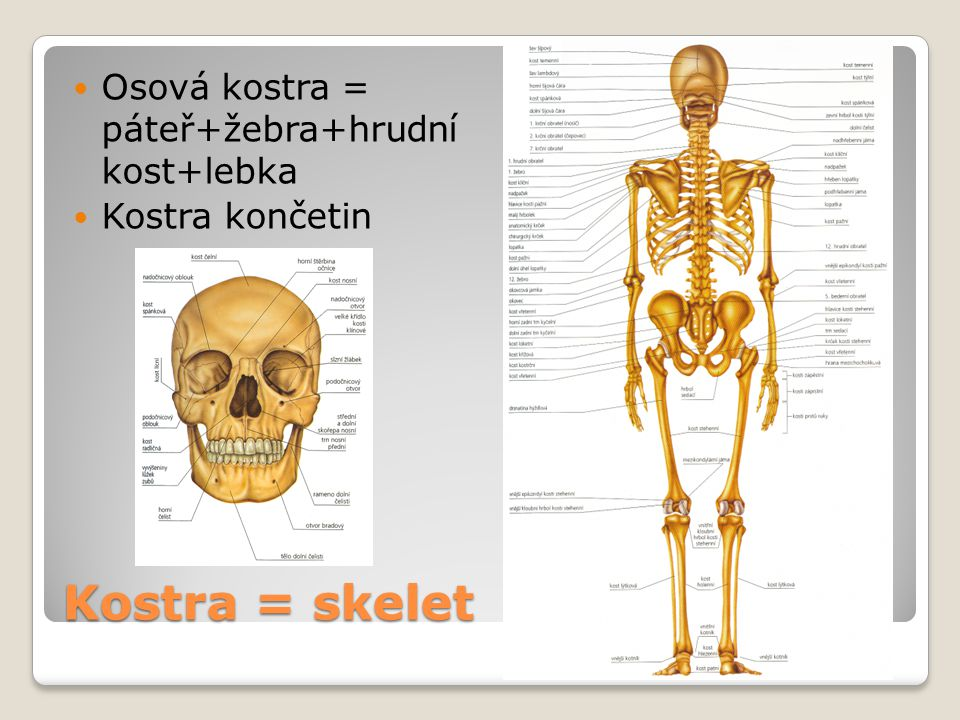 Kostra = skelet Osová kostra = páteř+žebra+hrudní kost+lebka