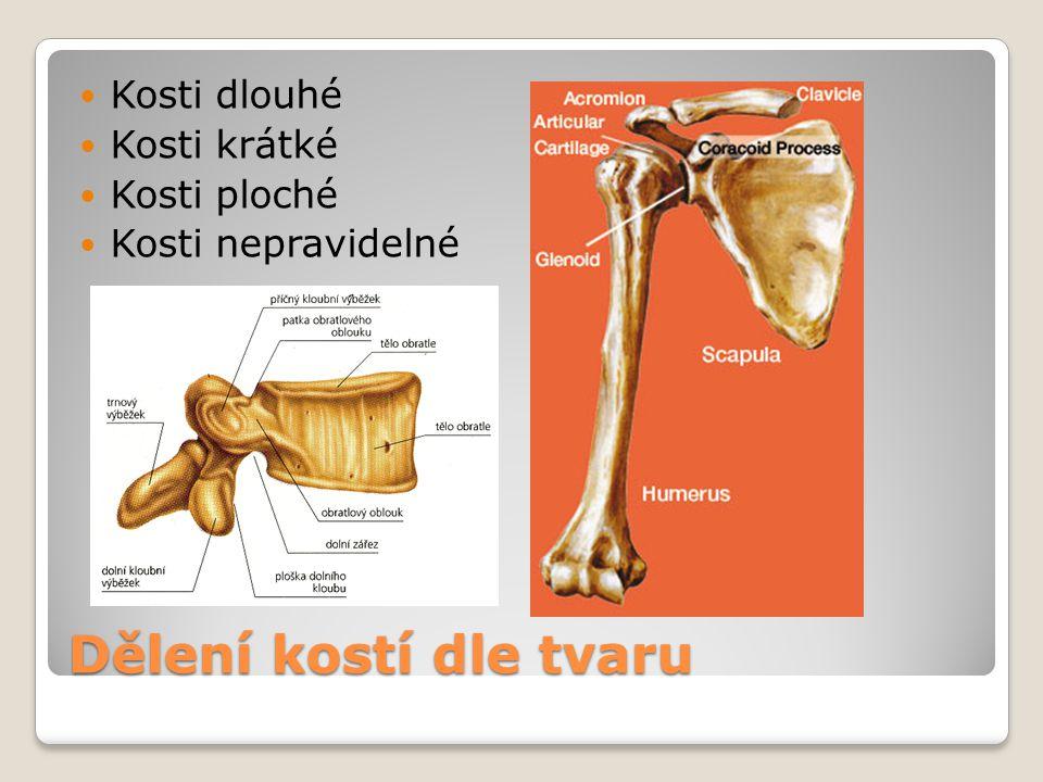 Dělení kostí dle tvaru Kosti dlouhé Kosti krátké Kosti ploché