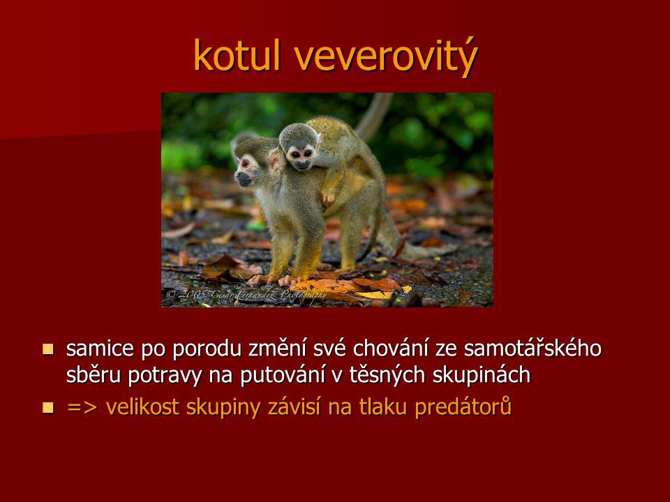 kotul veverovitý samice po porodu změní své chování ze samotářského sběru potravy na putování v těsných skupinách.