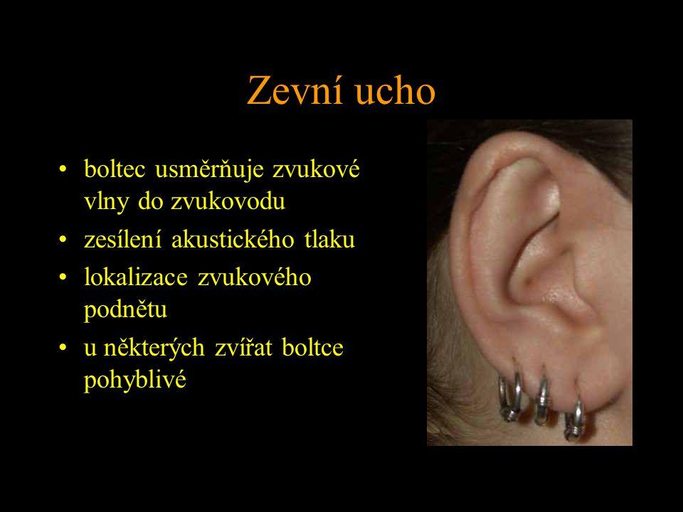 Zevní ucho boltec usměrňuje zvukové vlny do zvukovodu