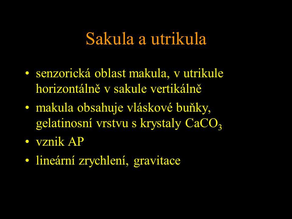 Sakula a utrikula senzorická oblast makula, v utrikule horizontálně v sakule vertikálně.