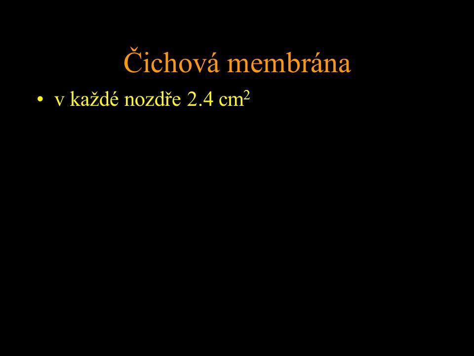 Čichová membrána v každé nozdře 2.4 cm2