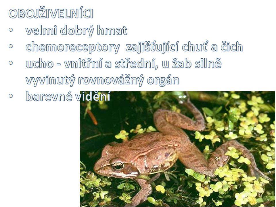 OBOJŽIVELNÍCI velmi dobrý hmat. chemoreceptory zajišťující chuť a čich. ucho - vnitřní a střední, u žab silně vyvinutý rovnovážný orgán.