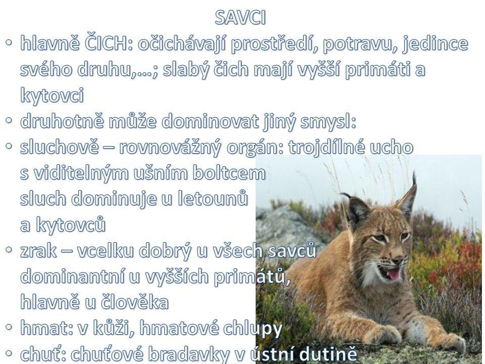 SAVCI hlavně ČICH: očichávají prostředí, potravu, jedince svého druhu,…; slabý čich mají vyšší primáti a kytovci.