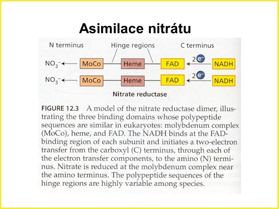 Asimilace nitrátu Asimilace nitrátů,nitrát reduktasa, molybdenový komplex. 15