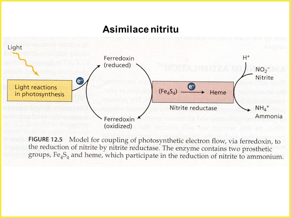 Asimilace nitritu Asimilace nitritu, ferredoxin, nitrit reduktasa.