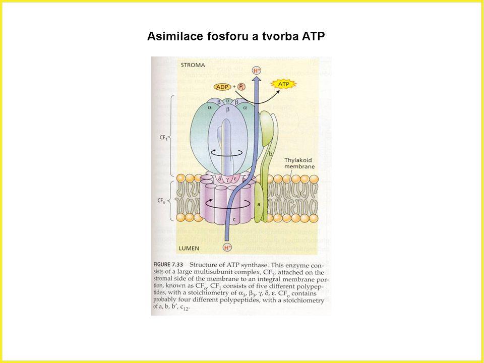 Asimilace fosforu a tvorba ATP