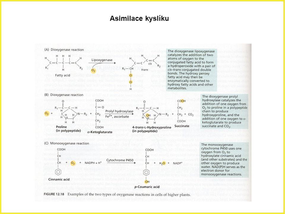 Asimilace kyslíku Asimilace, kyslík, mastné kyseliny, sukcinát, cytochrom.