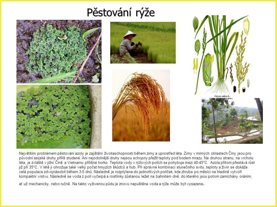 Pěstování rýže Azolla, pěstování rýže.