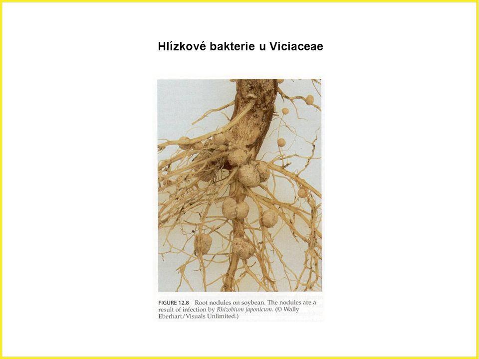 Hlízkové bakterie u Viciaceae