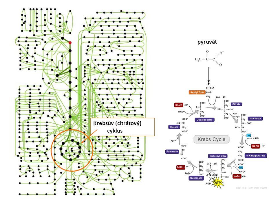 pyruvát Krebsův (citrátový) cyklus