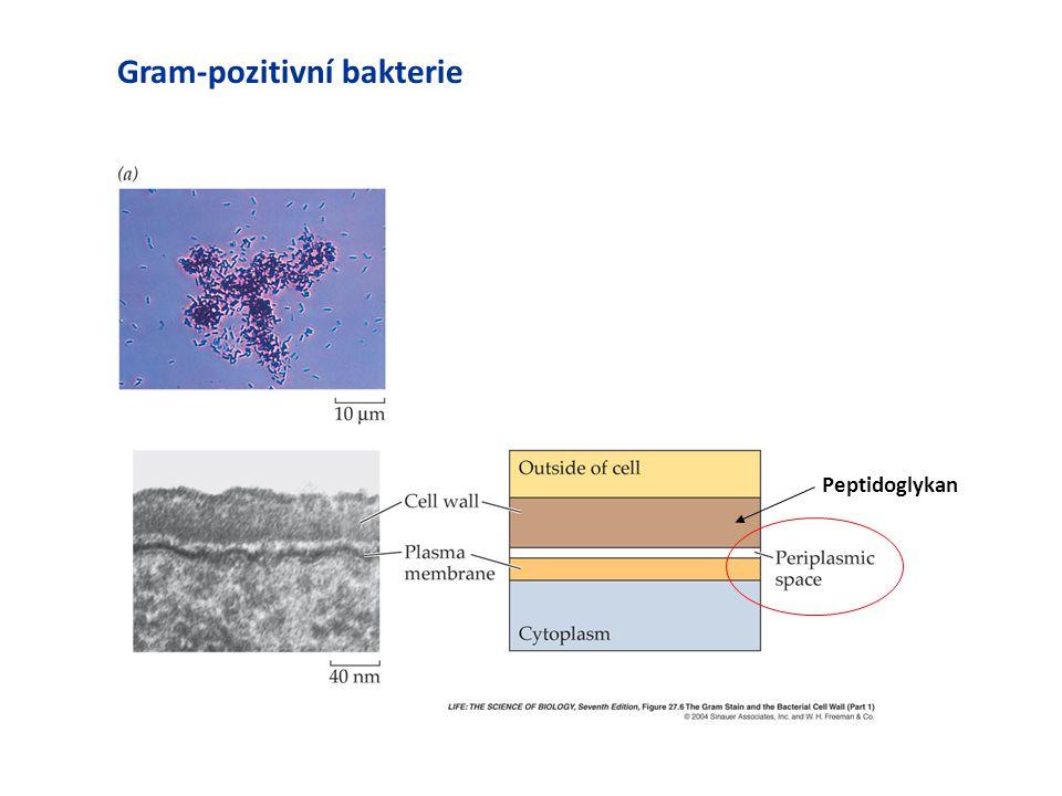 Gram-pozitivní bakterie