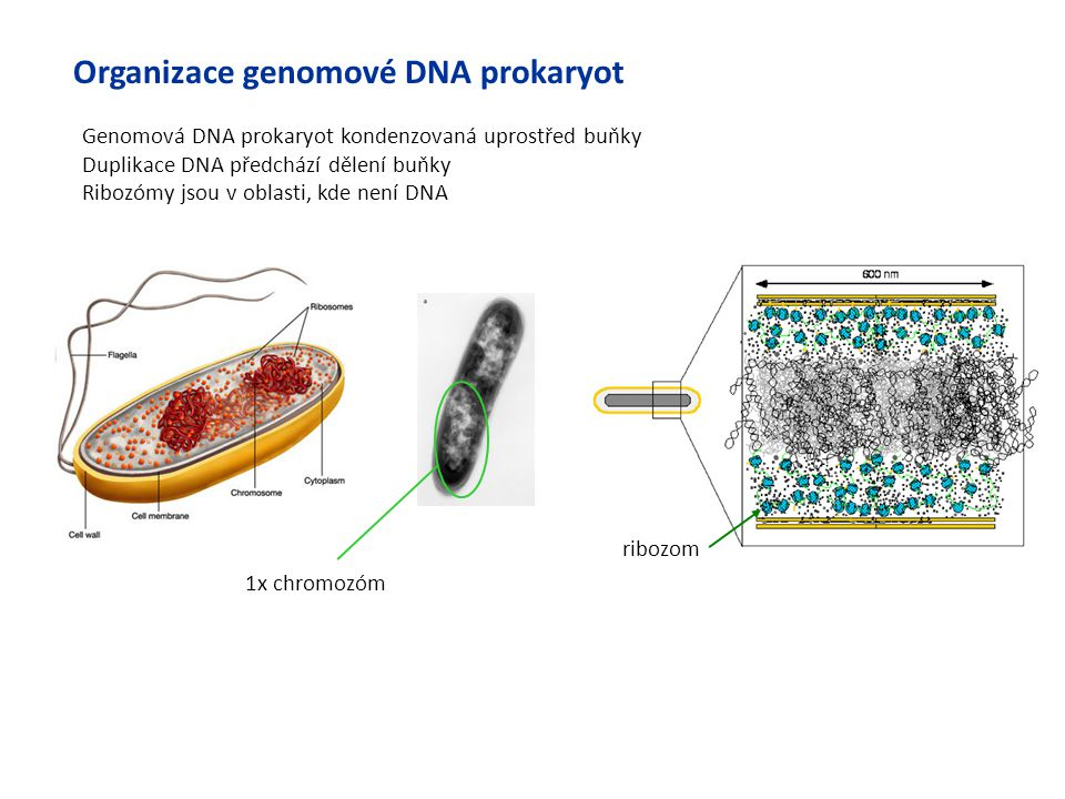 Organizace genomové DNA prokaryot