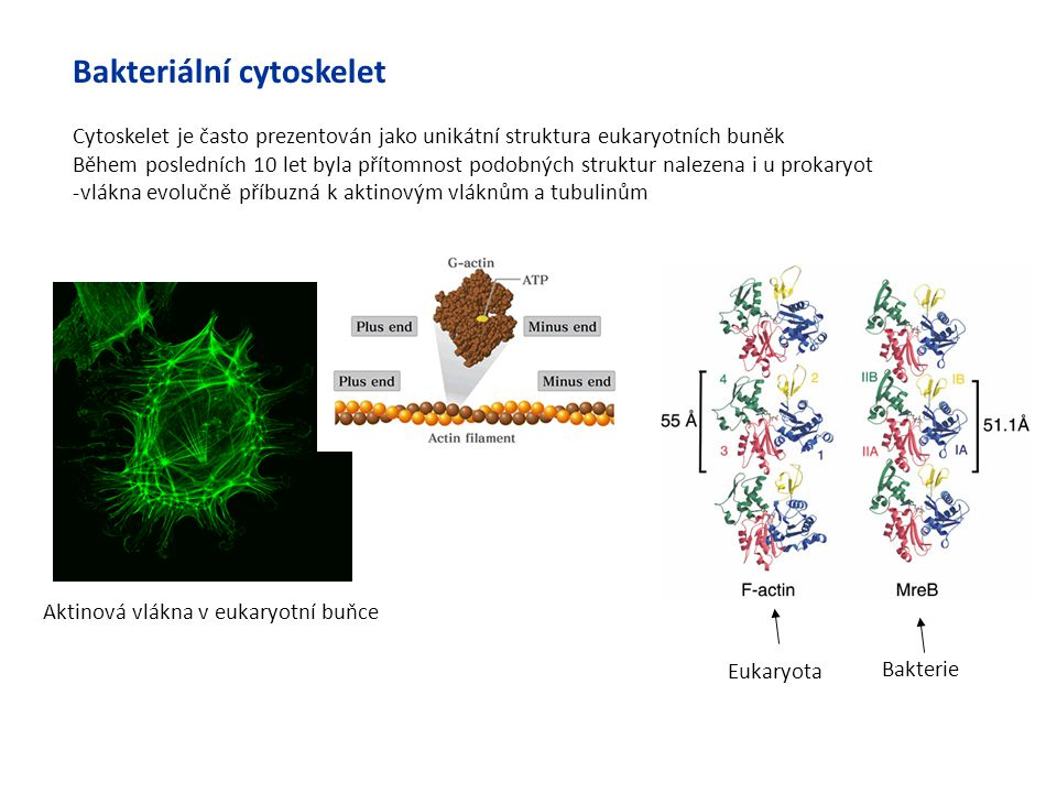 Bakteriální cytoskelet