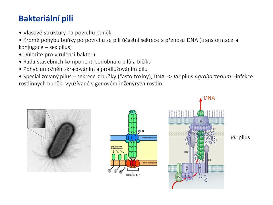 Bakteriální pili Vlasové struktury na povrchu buněk