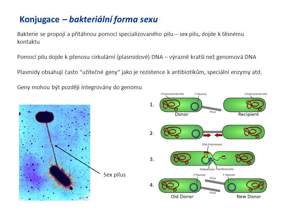 Konjugace – bakteriální forma sexu