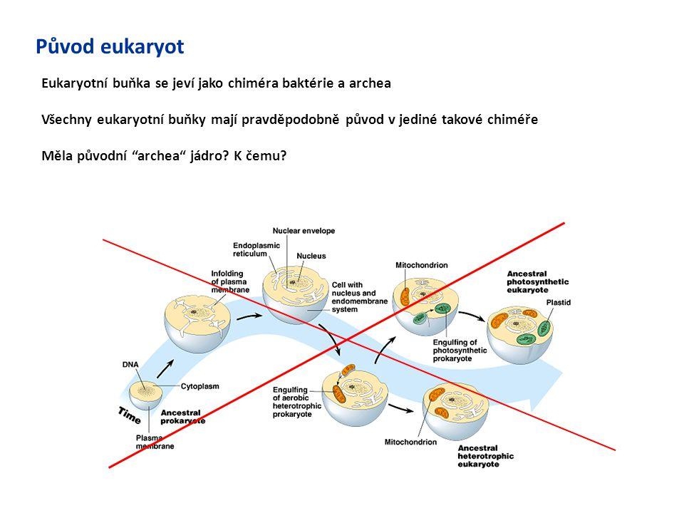 Původ eukaryot Eukaryotní buňka se jeví jako chiméra baktérie a archea