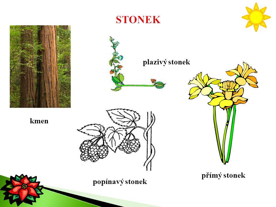 STONEK plazivý stonek kmen přímý stonek popínavý stonek