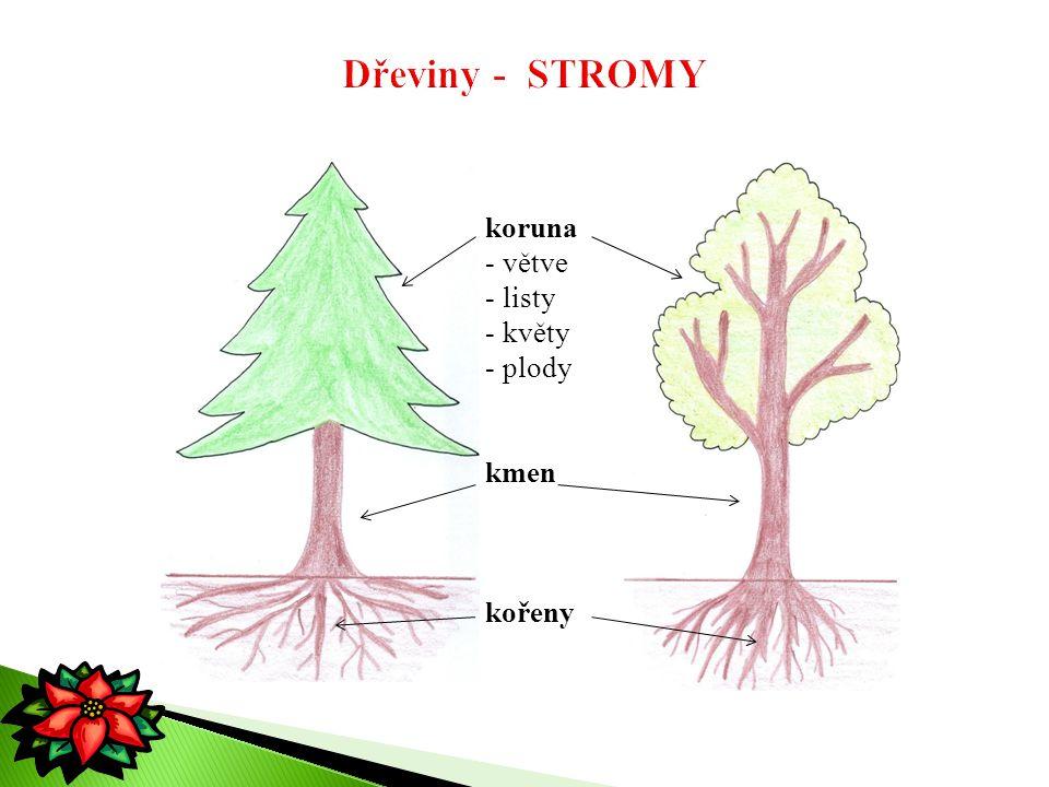 Dřeviny - STROMY koruna větve listy květy plody kmen kořeny