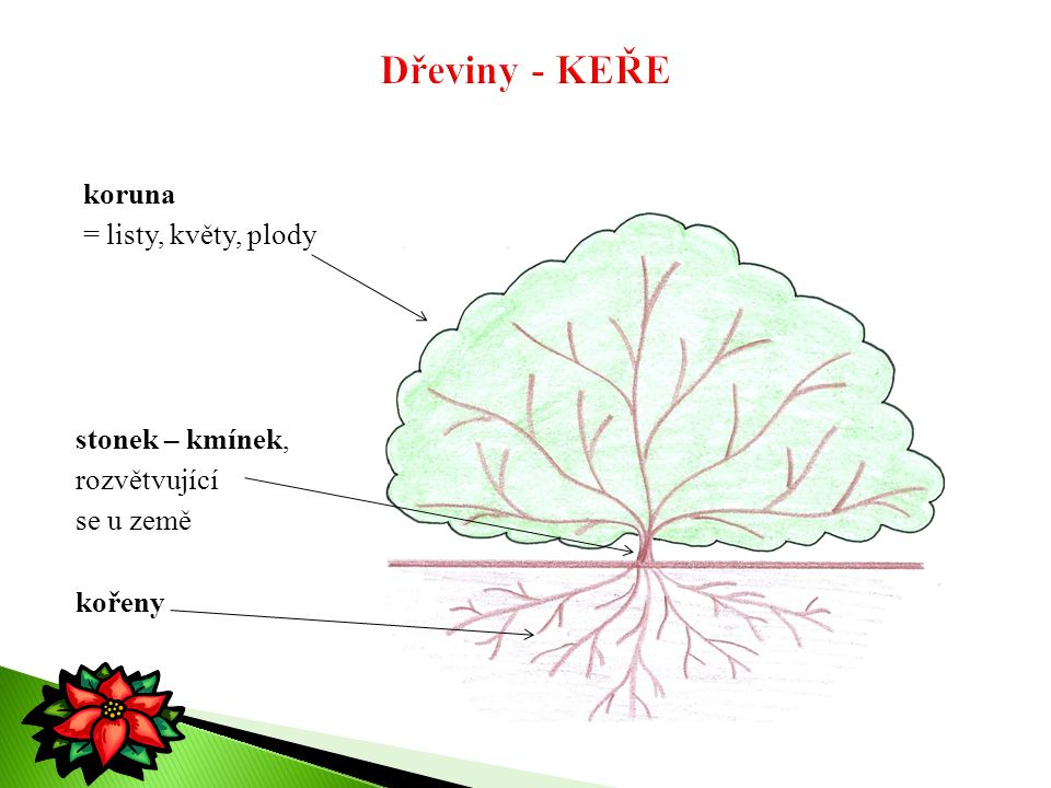 Dřeviny - KEŘE koruna = listy, květy, plody stonek – kmínek,