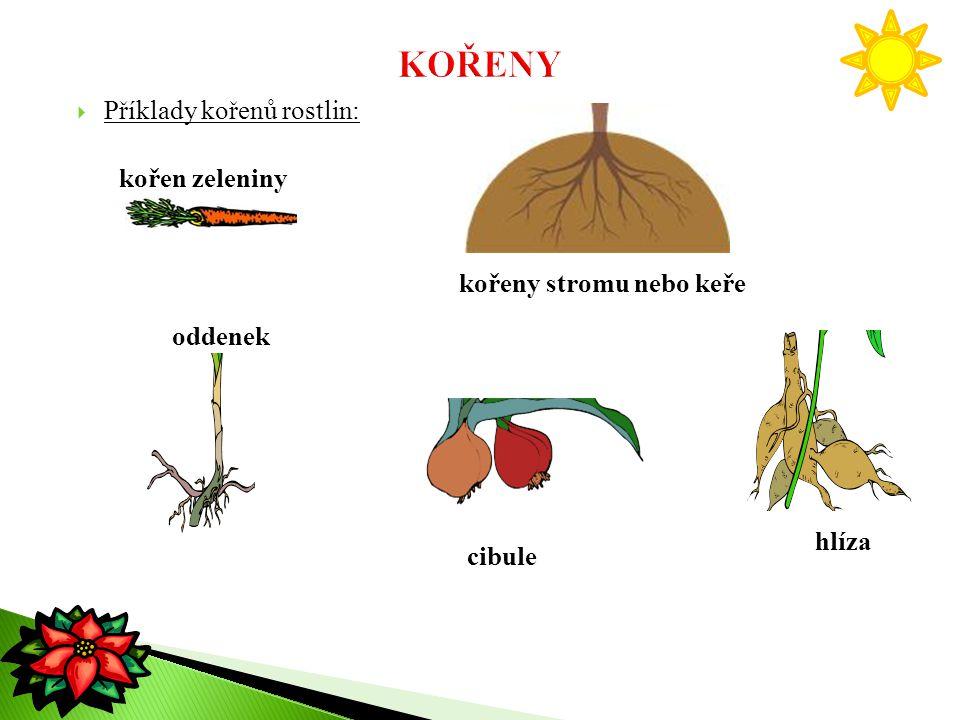 KOŘENY Příklady kořenů rostlin: kořen zeleniny kořeny stromu nebo keře