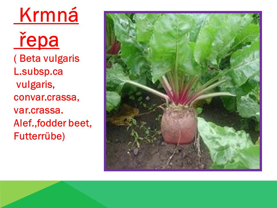 Krmná řepa ( Beta vulgaris L.subsp.ca vulgaris, convar.crassa,