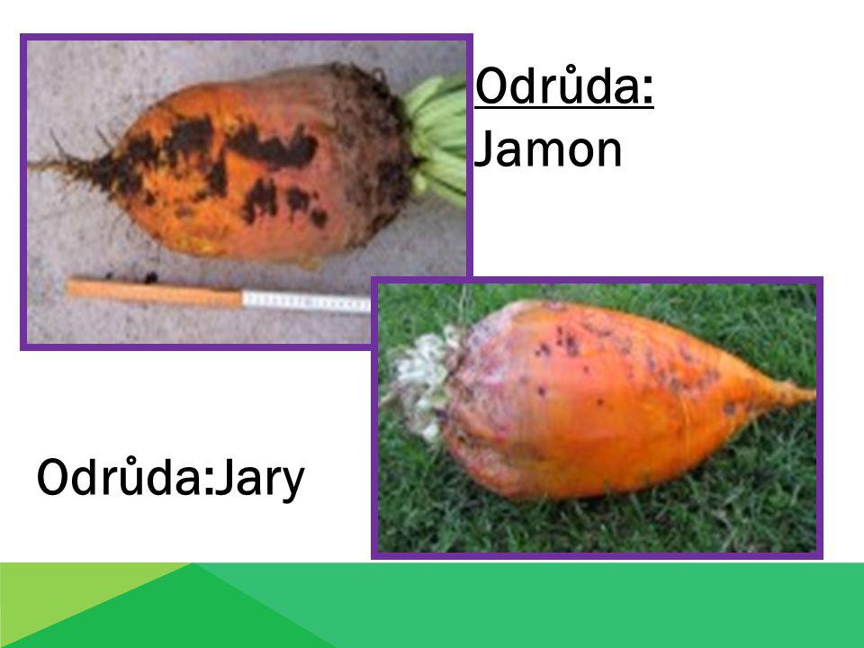 Odrůda: Jamon Odrůda:Jary Odrůda:Jary