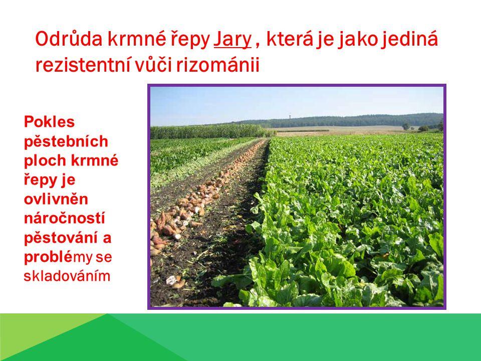 Odrůda krmné řepy Jary , která je jako jediná rezistentní vůči rizománii