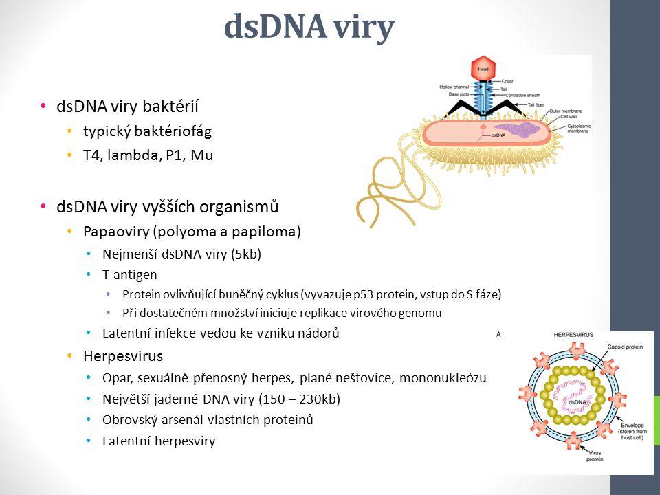 dsDNA viry dsDNA viry baktérií dsDNA viry vyšších organismů