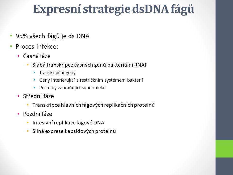 Expresní strategie dsDNA fágů