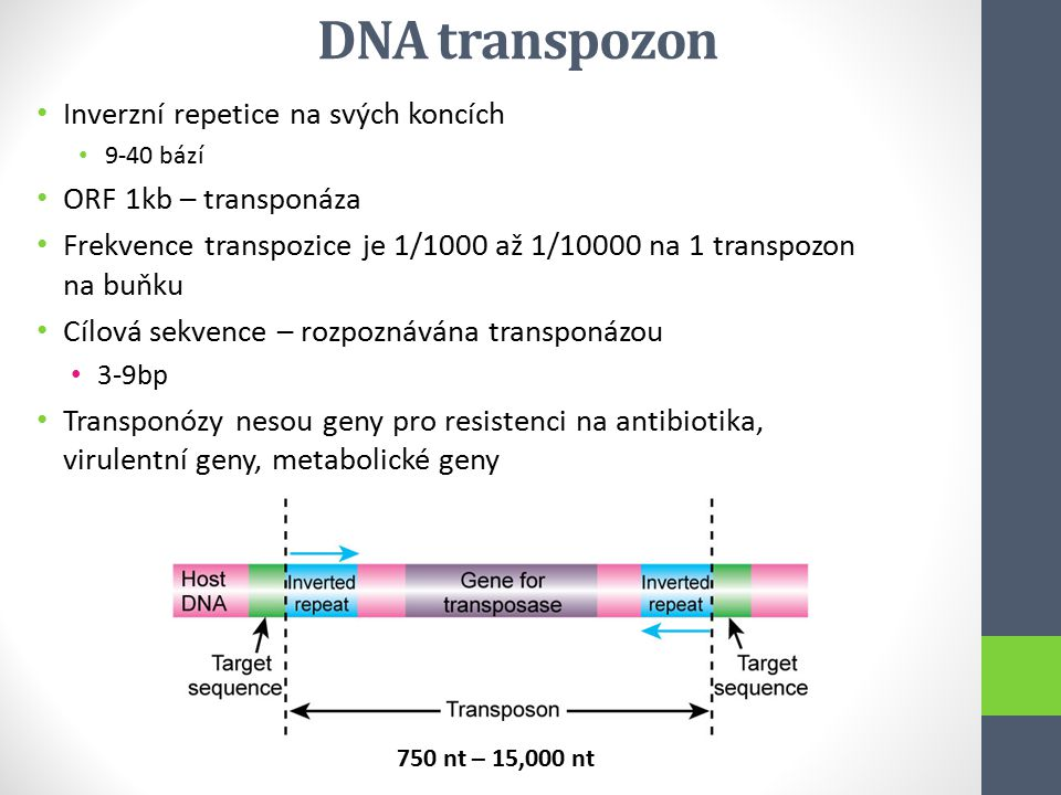 DNA transpozon Inverzní repetice na svých koncích