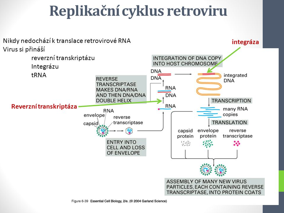 Replikační cyklus retroviru