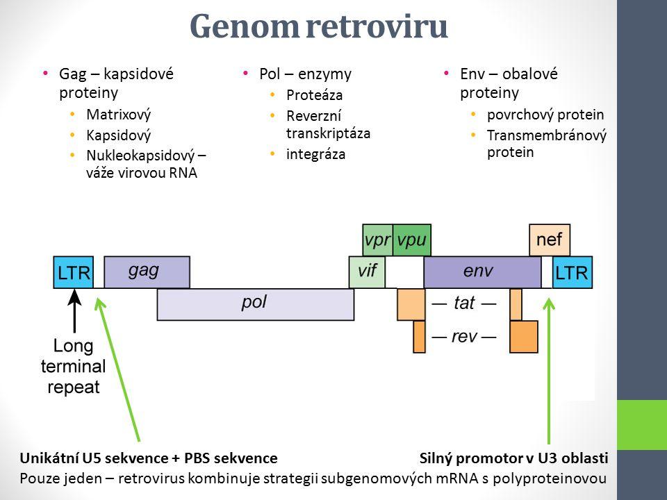 Genom retroviru Gag – kapsidové proteiny Pol – enzymy