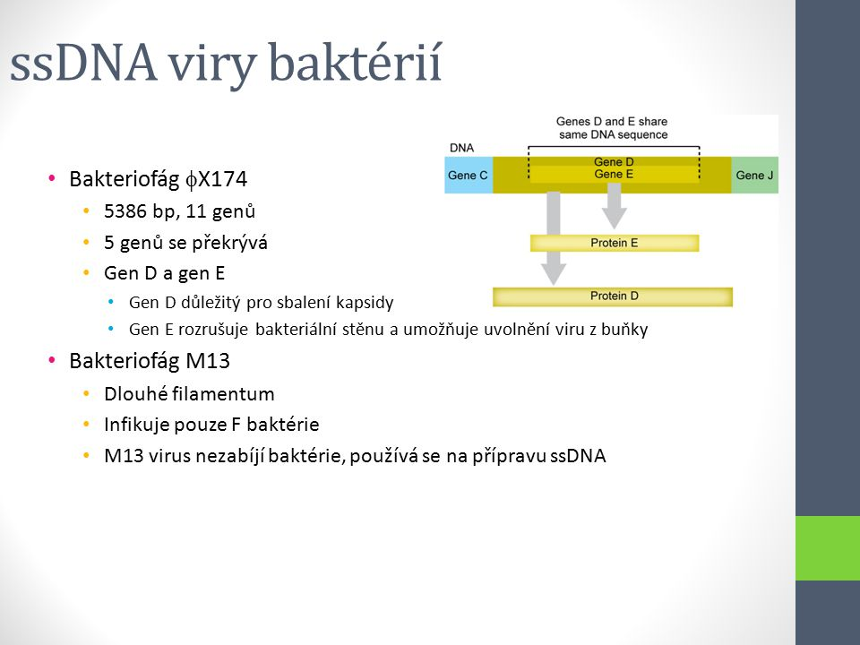 ssDNA viry baktérií Bakteriofág X174 Bakteriofág M13 5386 bp, 11 genů