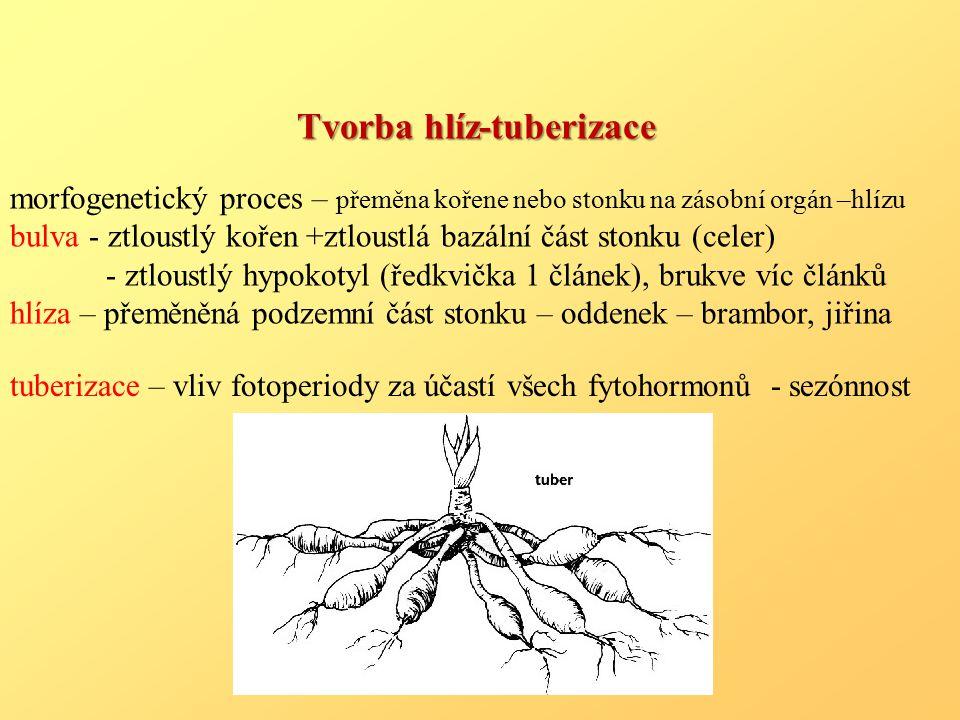 Tvorba hlíz-tuberizace