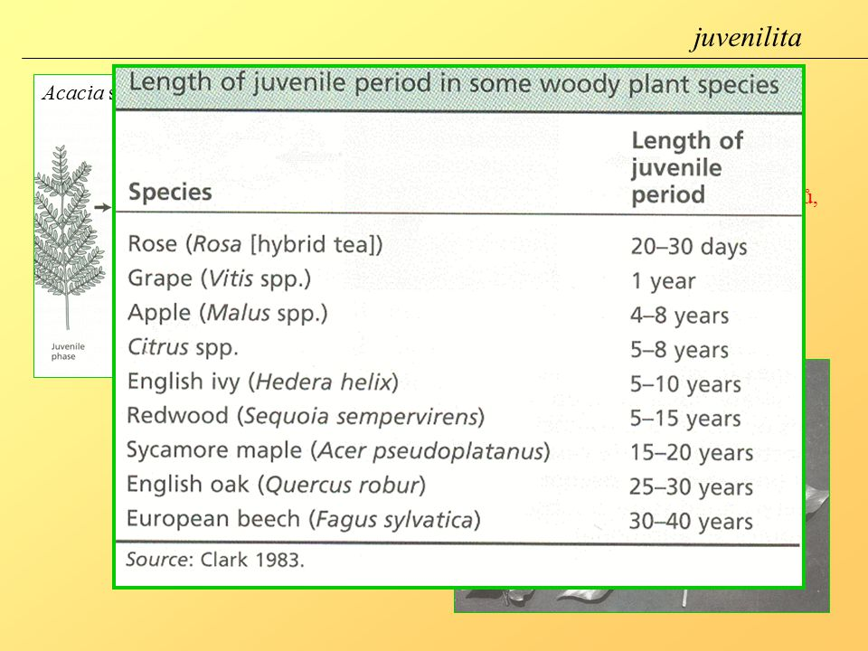 juvenilita Acacia sp. juvenilita- stav, kdy je rostlina necitlivá k podnětům, které vyvolávají kvetení (nízké teplota, fotoperioda)