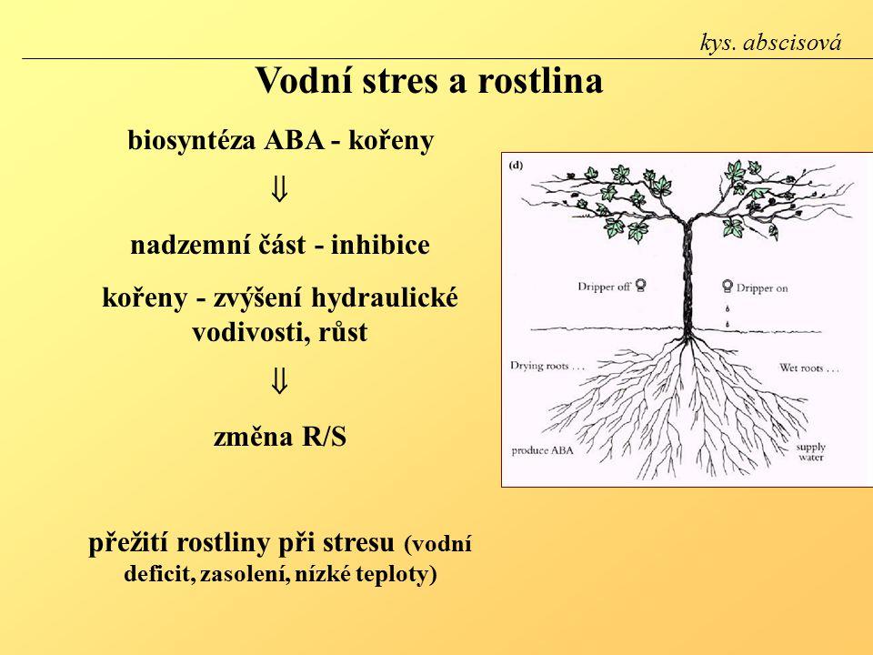 Vodní stres a rostlina biosyntéza ABA - kořeny 