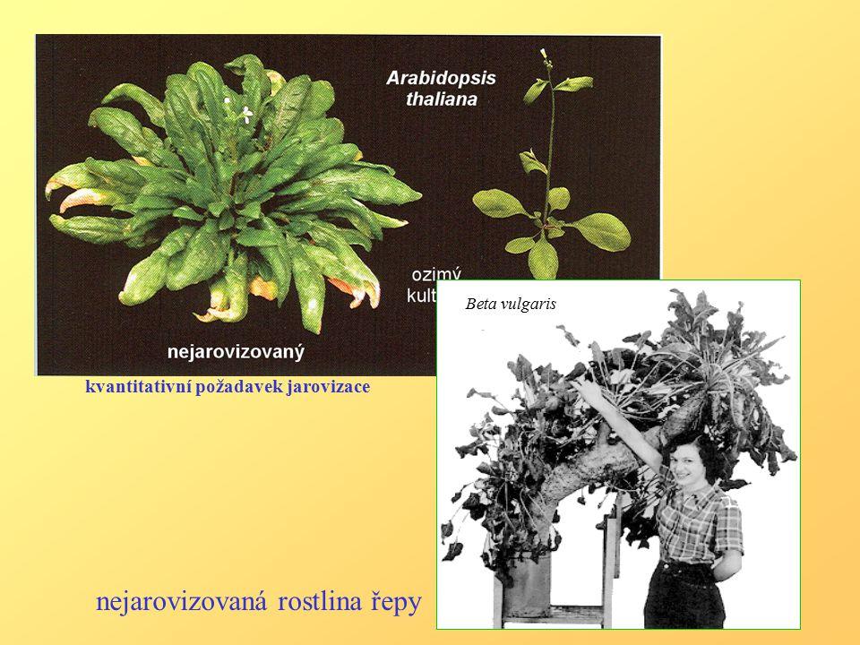 nejarovizovaná rostlina řepy