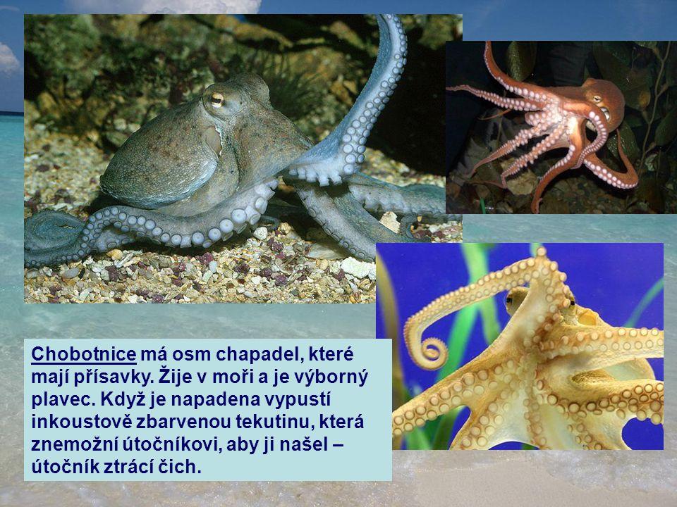 Chobotnice má osm chapadel, které mají přísavky