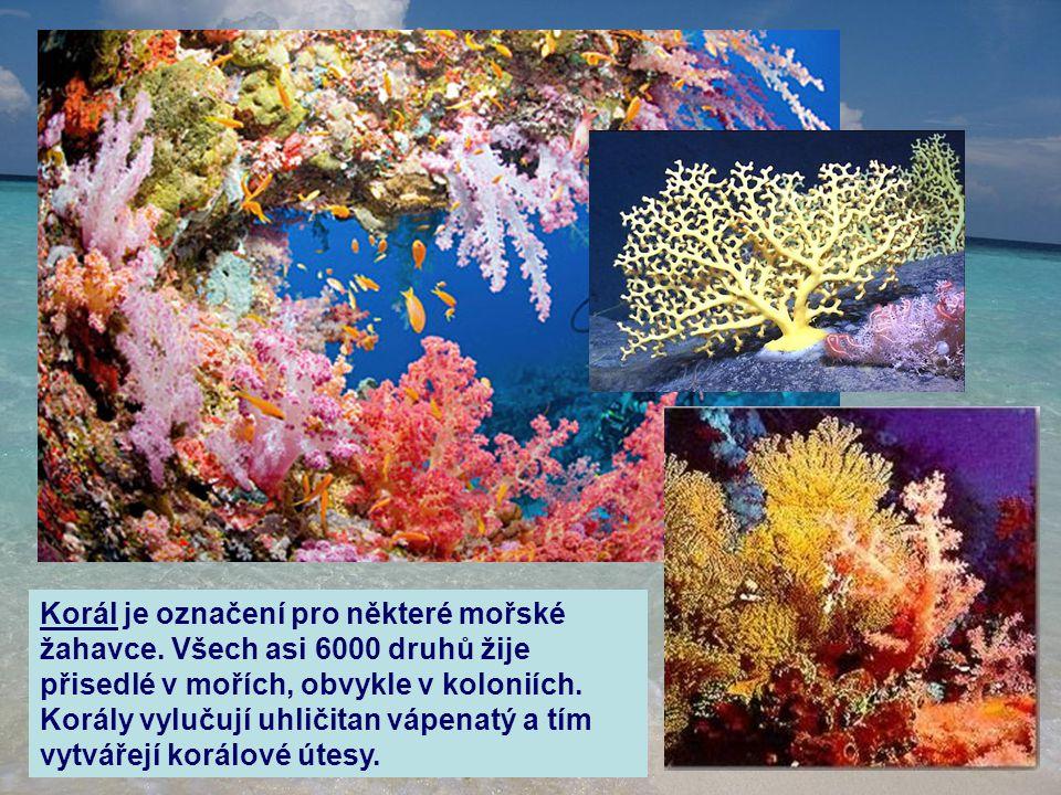 Korál je označení pro některé mořské žahavce