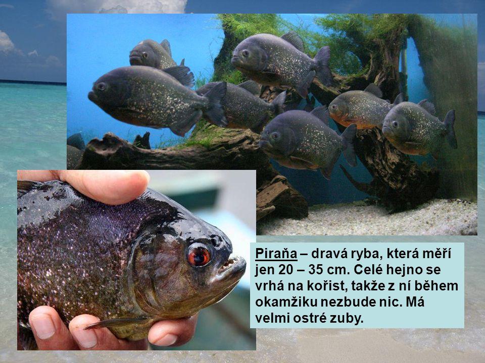 Piraňa – dravá ryba, která měří jen 20 – 35 cm