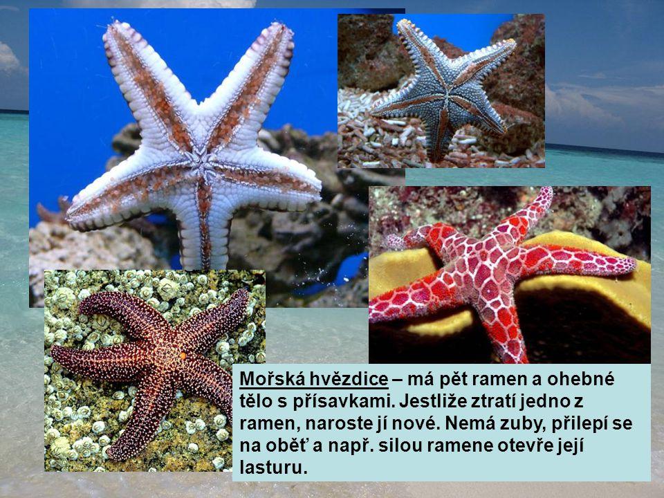 Mořská hvězdice – má pět ramen a ohebné tělo s přísavkami