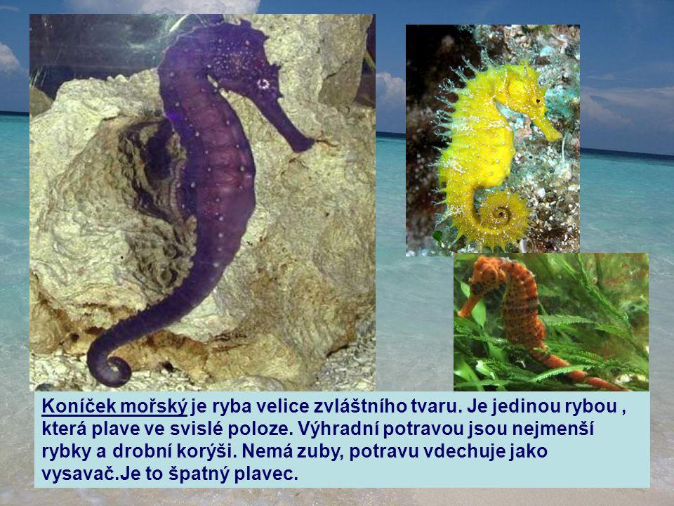 Koníček mořský je ryba velice zvláštního tvaru