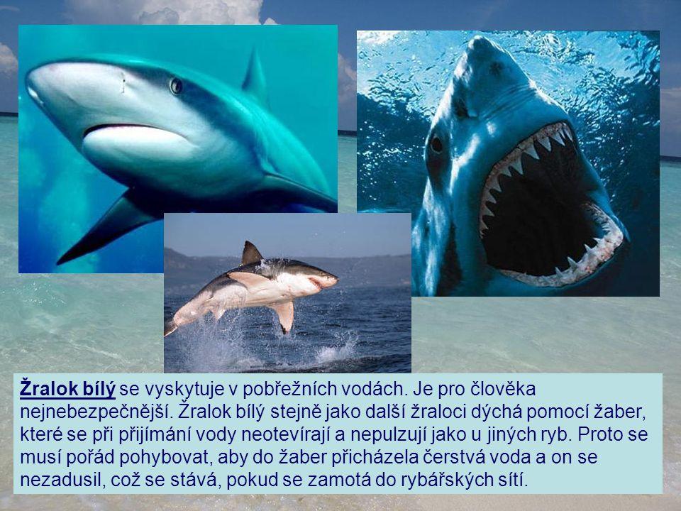 Žralok bílý se vyskytuje v pobřežních vodách