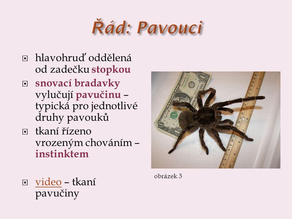 Řád: Pavouci hlavohruď oddělená od zadečku stopkou