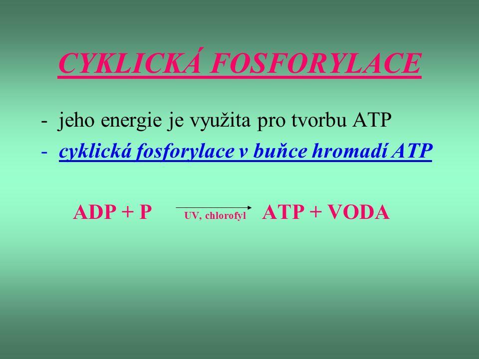 CYKLICKÁ FOSFORYLACE jeho energie je využita pro tvorbu ATP