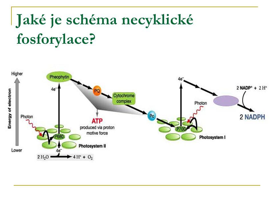 Jaké je schéma necyklické fosforylace